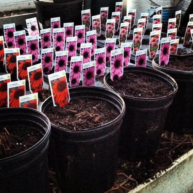 echinacea_spring_2012
