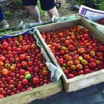 tomatoes 2015 07