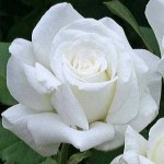 JP2 Rose