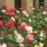 cropped-web-header-roses2.jpg