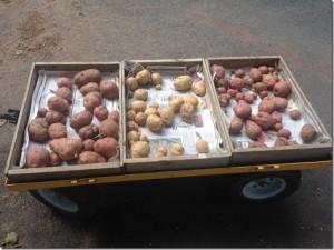harvest july 1 potatoes
