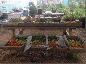 harvest july 1 tomatoes plus