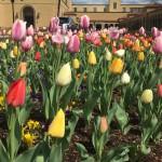 tulips 2016 - 3